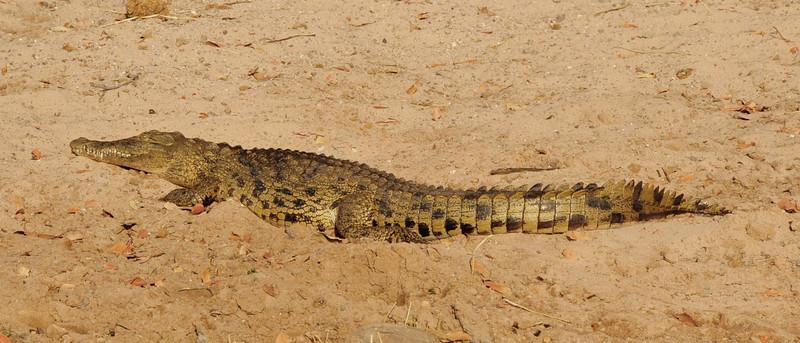 _D038312 Nile Crocodile on Chobe River.jpg