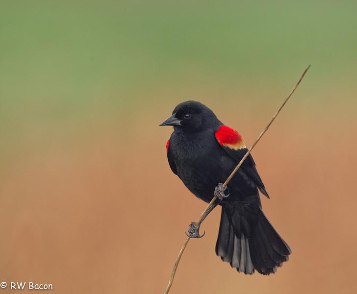 Red-winged Blackbird San Bernard NWR Lake Jackson, TX