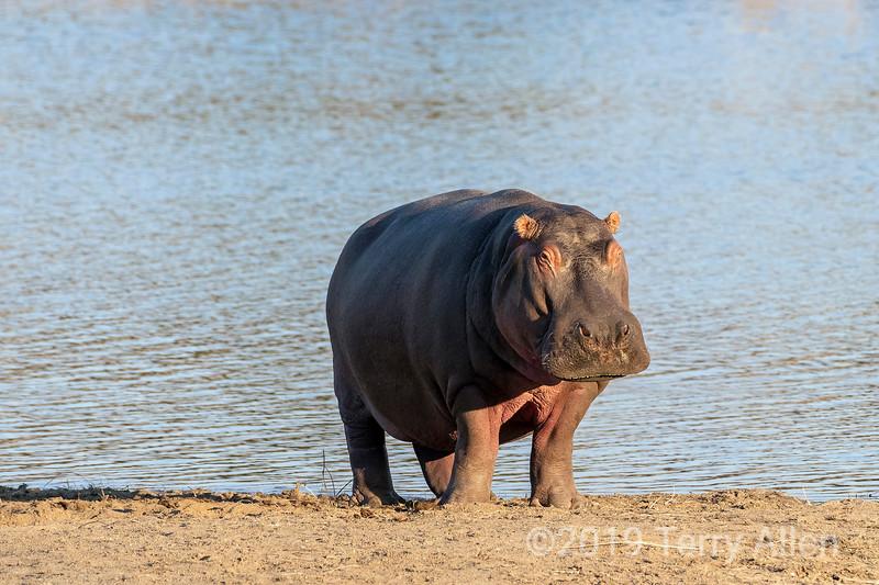 Hippo (Hippopotamus amphibius) on the lake bank near sunset, Mabula, South Africa.jpg