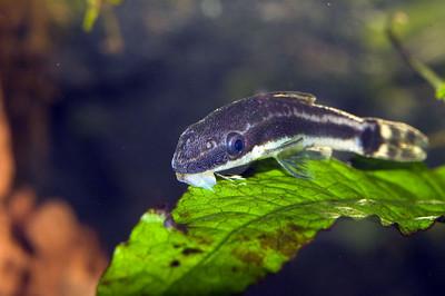 Oto cat (Otocinclus affinis)