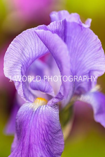 201905312019 Neighborhood Irises029--160.jpg