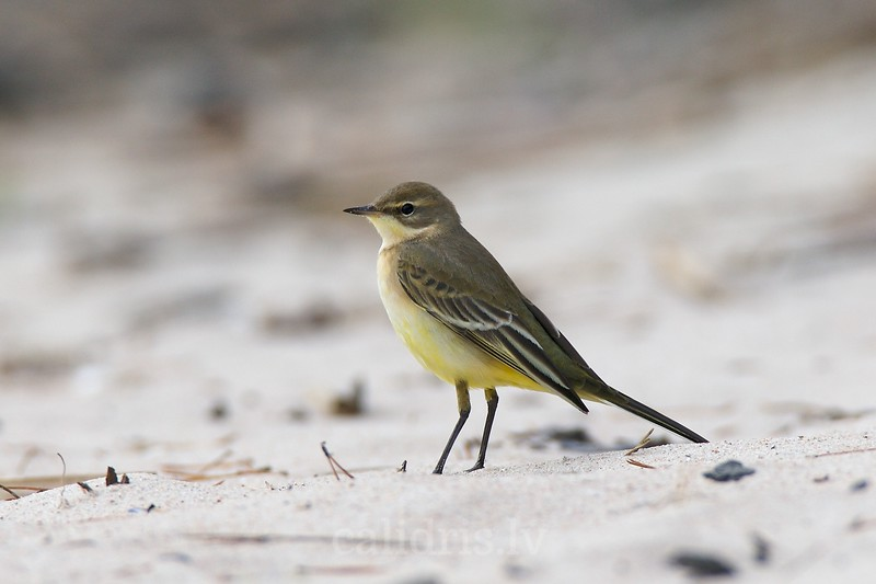 Yellow Wagtail on a beach