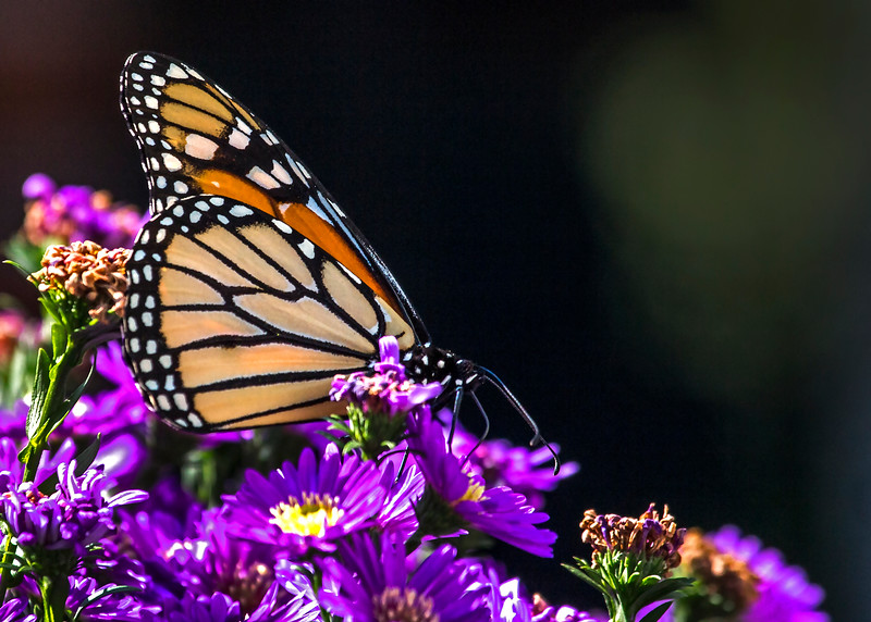 Monarch02.jpg