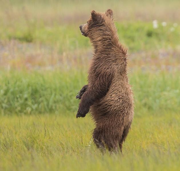 alaska-bears-23.jpg