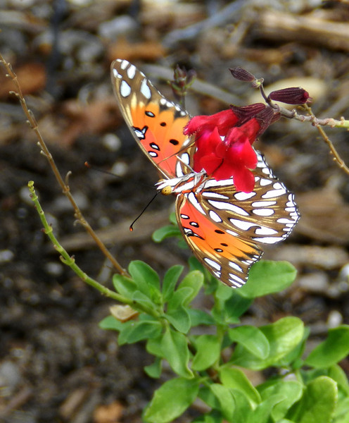 Gulf Fritillary on sage best.jpg