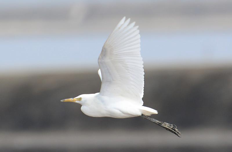 Cattle Egret - Salt Works - 10/27/13