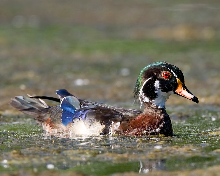 molting wood duck.jpg