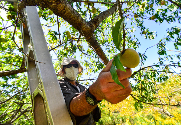 Picking the last peaches of the season - 090420