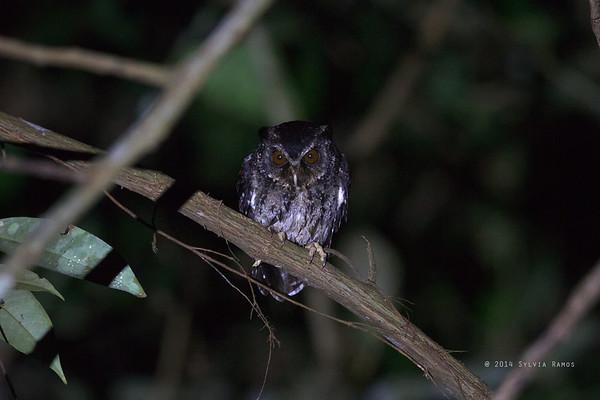 Palawan Scops Owl