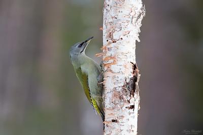 Woodpeckers / Hackspettar