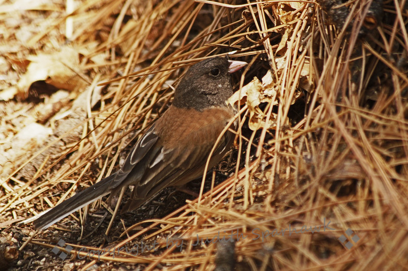 Junco at Nest ~ This junco was busily foraging, scratching up seeds, and feeding his/her young in the nest.  In this shot the bird is standing at the nest opening, about to enter for feeding.  The nest overall was a large clump of pine needles on the ground, with two apparent openings.  I only saw this opening used during the time I watched.