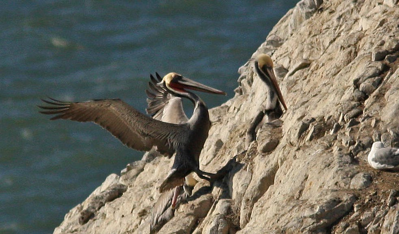 Brown Pelicans  island off Cliff House