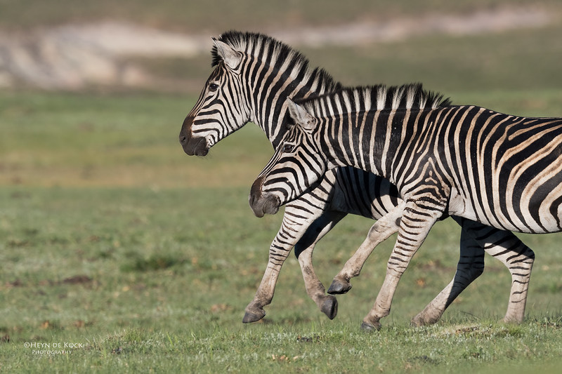 Plains Zebra, Goldengate NP, FS, SA, Oct 2016-6.jpg