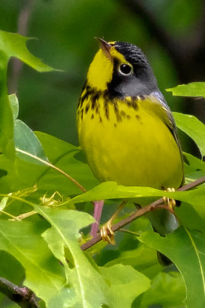 Canada Warblers
