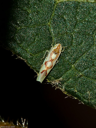 Leafhoppers to be sorted