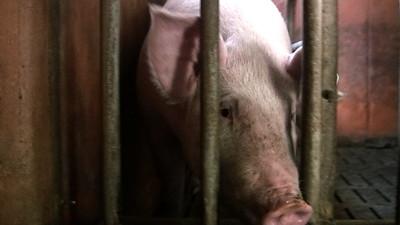 Élevage de cochons - 2007