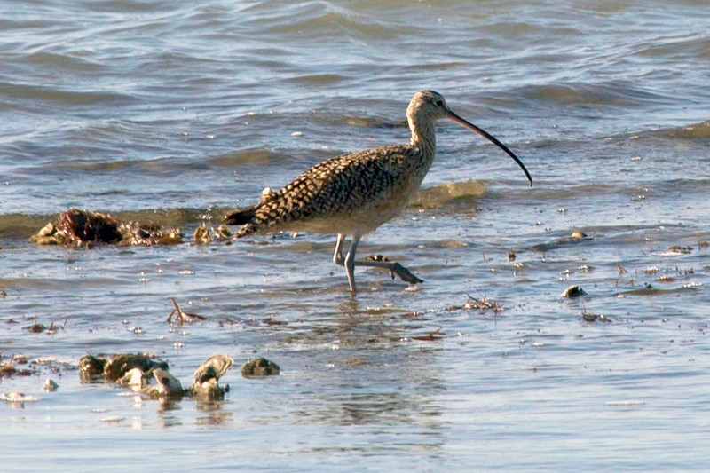 A long-billed curlew on the shoreline.