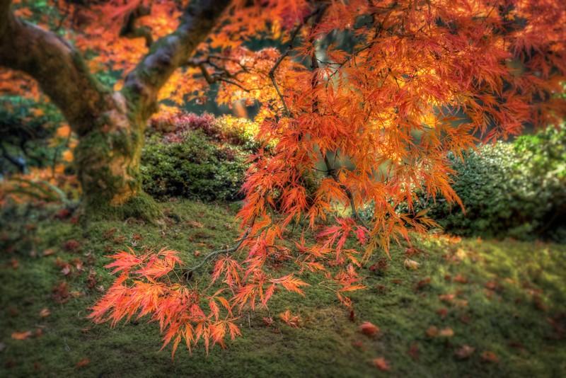 Japanese Maple, Autumn, Study 8, Japanese Garden, Portland, OR
