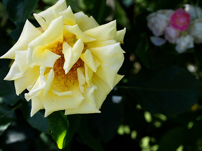 Rose Garden_June 12, 2013