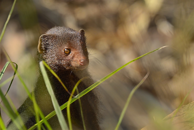 Ruddy-Mongoose-01.jpg