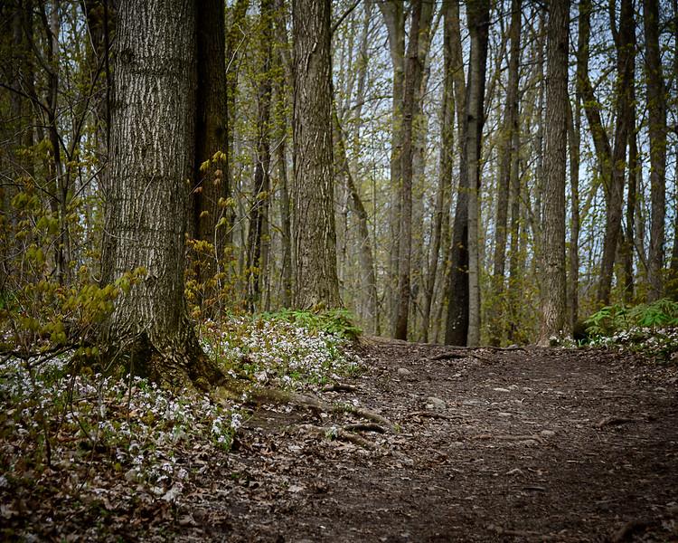 Trail Through Spring Beauty