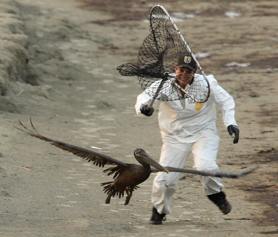 . United States Fish and Wildlife biologist Kayla Dibenedetto attempts to catch an oiled Brown Pelican at Grand Isle, La. Saturday, June 5, 2010. The pair chased the bird for more than two hours before giving up because of darkness. (AP Photo/Charlie Riedel)
