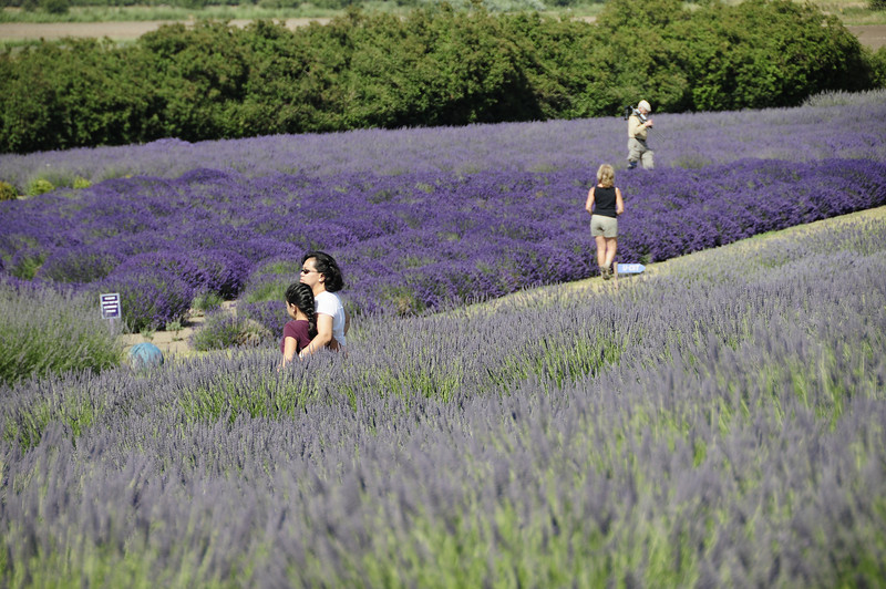 Sequim, Wa (Lavender Festival).