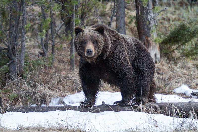 Grizzly bear boar male Yellowstone National Park WY IMG_0500.jpg