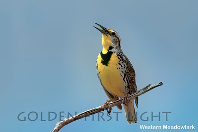 Western Meadowlark, Oregon , USA