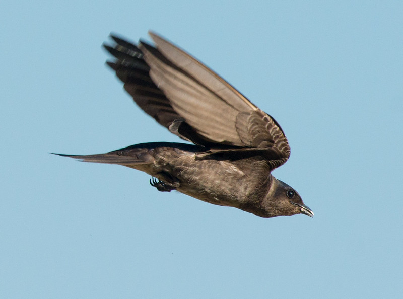 Martin.soaring_8109.jpg