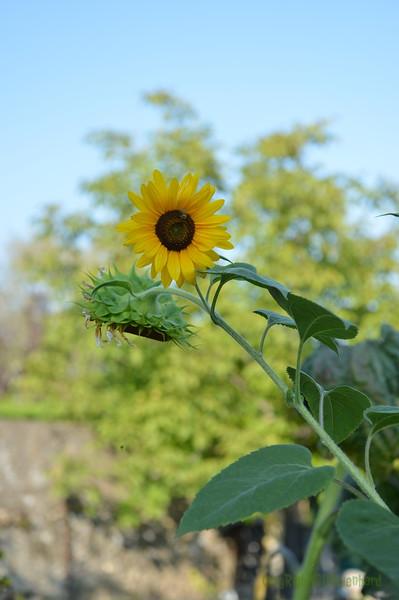 Sunflower Lonay_20092020 (6).JPG
