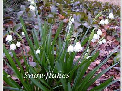 summer-snowflakes-are-a-dependable-bulb