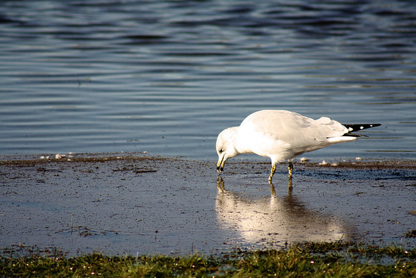 Seagull December 2009