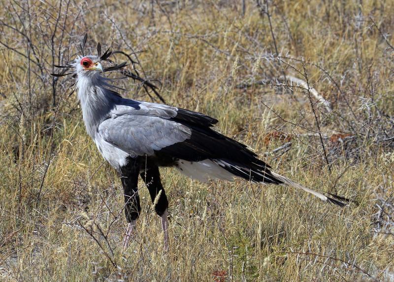 SECRETARY BIRD - NAMIBIA