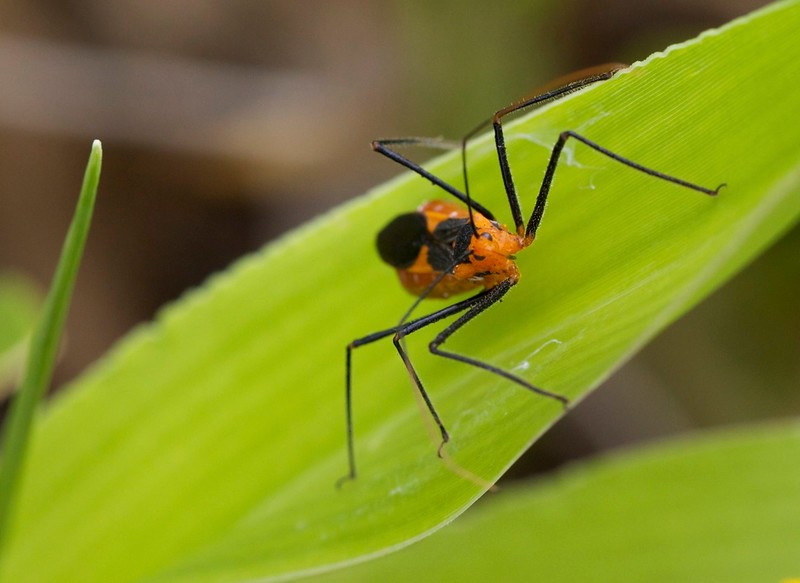 milkweed bug (I think)