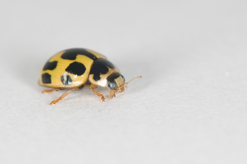 20080822as17-04-10 Propylea quatuordecimpunctata, sjakkbrettmarihøne