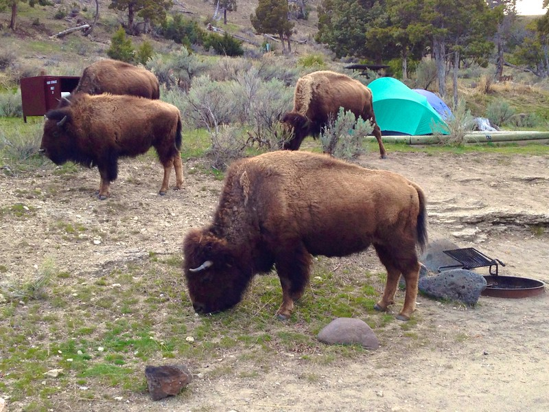 Bison in campsite Mammoth Yellowstone National Park WY IMG_2864.jpg