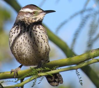 Birds, BNAz
