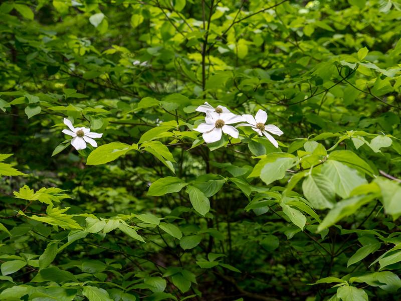 Pafific Dogwood Cornus nuttallii