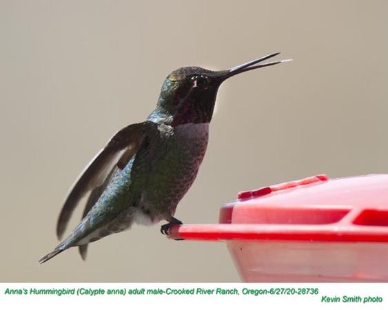 Anna's Hummingbird M28736.jpg