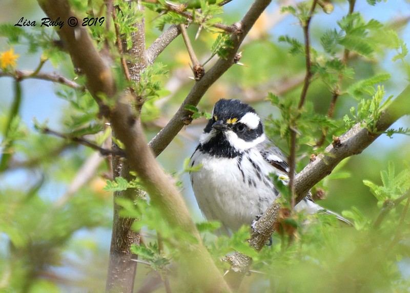 Black-throated Gray Warbler - 4/15/2019 - Agua Caliente County Park Campground