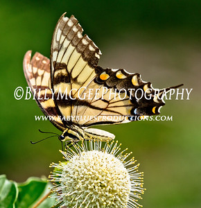 Butterflies - Eastern Neck Wildlife Refuge - 21 Aug 10
