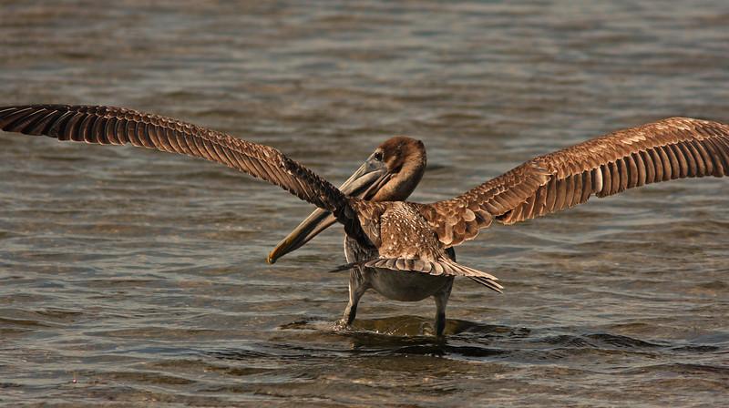 Brown Pelican landing, Ding Darling, Sanibel Florida