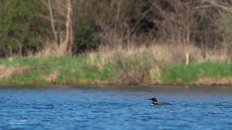Common Loon, Standing Bear Lake, NE, USA, May 2018-2.jpg