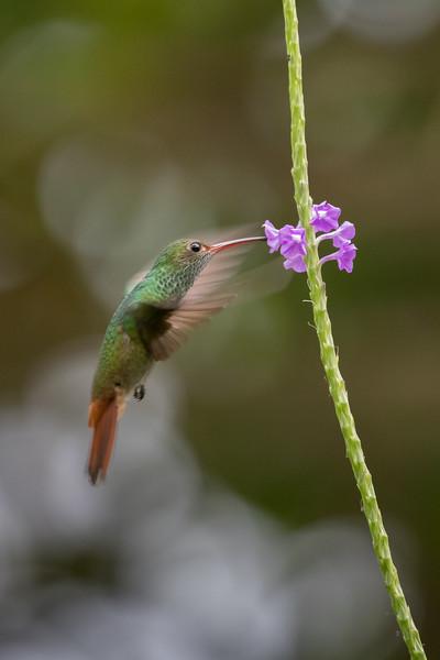 Rufus-tail hummingbird