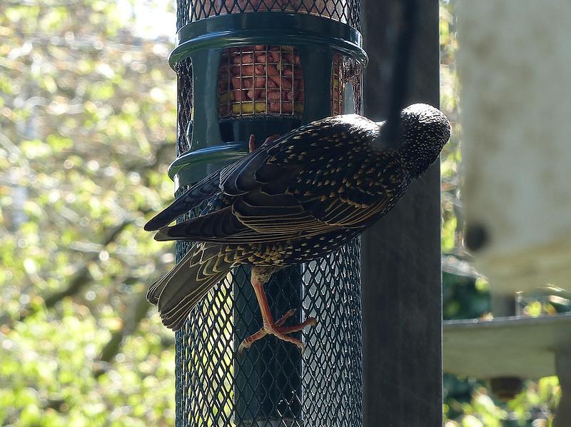 P1030111 - Starling.jpg