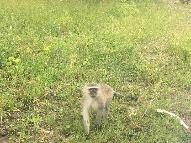 Monkey on the banks of the Chobe - Rob Williamson
