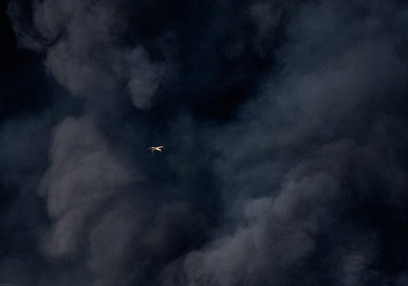 White stork and smoke from fire