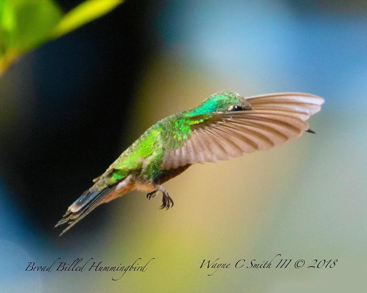 Broad Billed Hummingbird Male flying