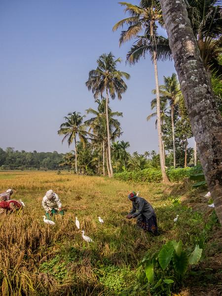 kerala rice field 2.jpg